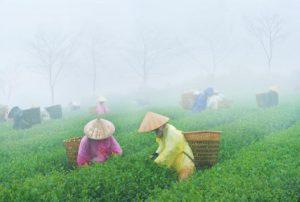 Nữ hoàng trà đặc sản trà thái nguyên