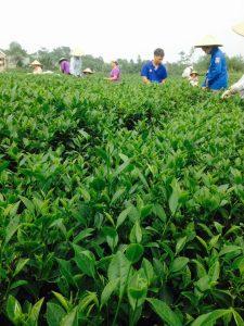 Để Mua được trà Thái Nguyên giá gốc ở Hà Nội và Tp Hồ chí Minh